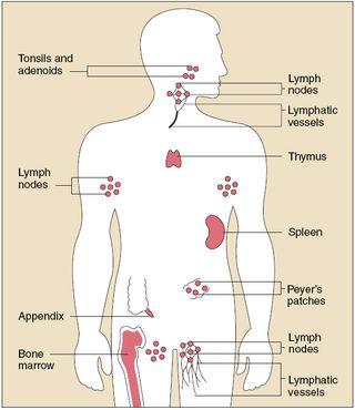 OrgansImmuneSystem