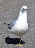 Drunk-seagull